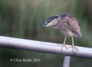 Photo by Chris Bosak A Black-crowned Night Heron perches on a railing at a marina along the Norwalk River, Norwalk, Conn., spring 2016.
