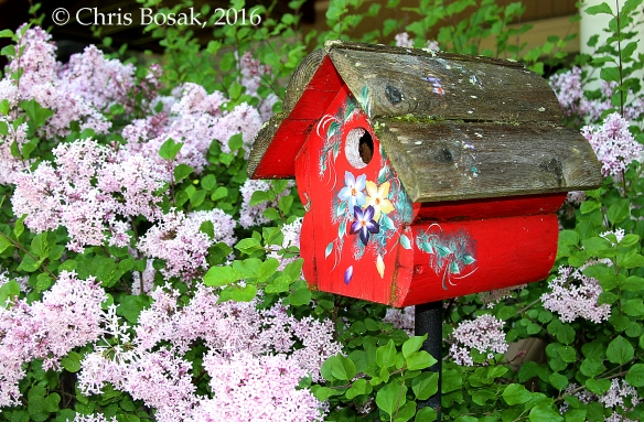 Photo by Chris Bosak A birdhouse surrounded by blooming lilacs. A Black-capped Chickadee family has used this house for the last two years.