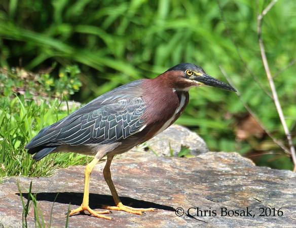 Photo by Chris Bosak A Green Heron stands on a rock in Darien, Conn., spring 2016.