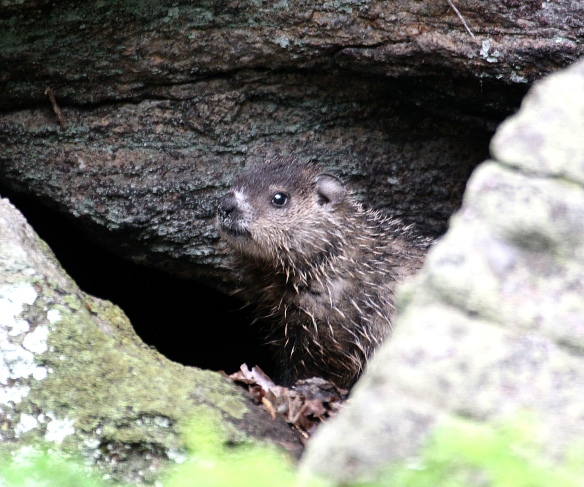Photo by Chris Bosak A young groundhog rests among the rocks, Danbury, Conn., spring 2016.