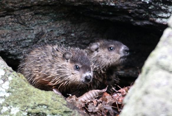 Photo by Chris Bosak Young groundhogs rest among the rocks, Danbury, Conn., spring 2016.