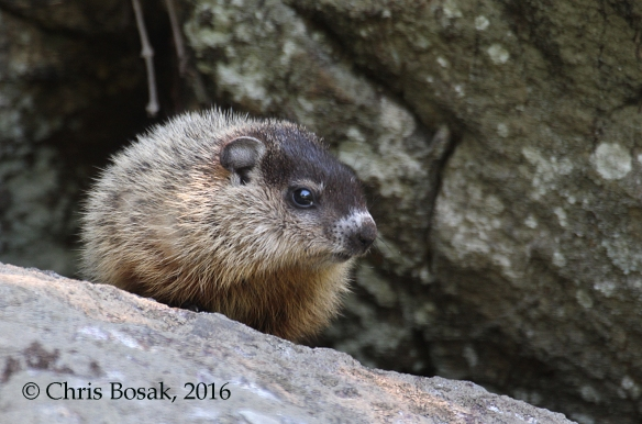 Photo by Chris Bosak A young groundhog stands on a rock in Danbury, Conn., spring 2016.