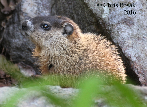 Photo by Chris Bosak A young groundhog rests on a rock in Danbury, Conn., 2016.