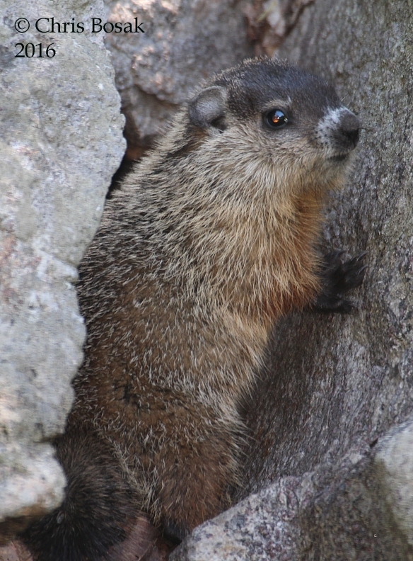 Photo by Chris Bosak A young groundhog stands between two rocks in Danbury, Conn., 2016.