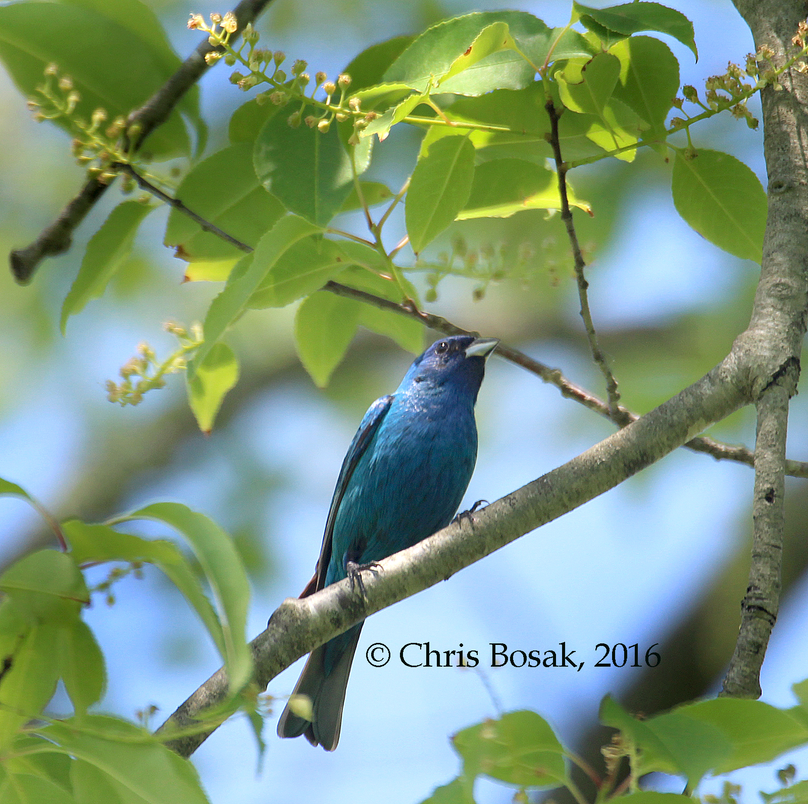 Photo by Chris Bosak An Indigo Bunting perches in a tree in Ridgefield, Conn., spring 2016.