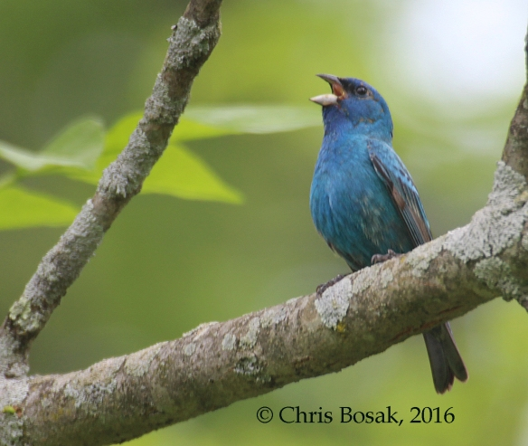 Photo by Chris Bosak An Indigo Bunting sings from a perch in Ridgefield, Conn., spring 2016.