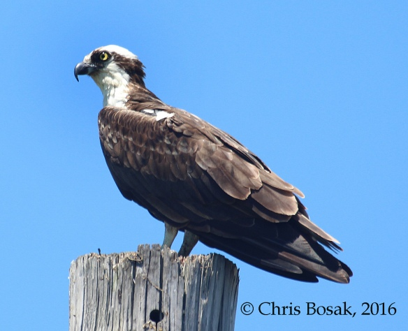 Photo by Chris Bosak An Osprey perches on the top of a pole at Veterans Park in Norwalk, Conn., spring 2016.