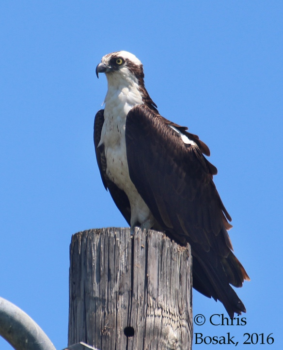 Photo by Chris Bosak An Osprey perches on top of a pole at Veterans Park in Norwalk, Conn., spring 2016.