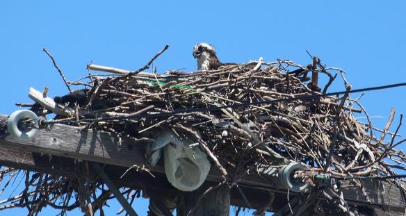 https://birdsofnewengland.files.wordpress.com/2016/06/osprey-3.jpg