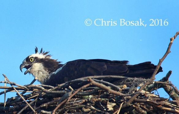 Photo by Chris Bosak An Osprey sits in a nest at Veterans Park in Norwalk, Conn., spring 2016.
