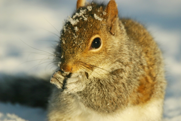 Gray squirrel in winter.