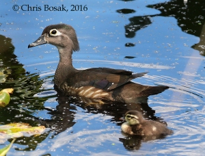 Photo by Chris Bosak A Wood Duck mother swims with one of her babies at Woods Ponds in Norwalk, Conn., spring 2016.