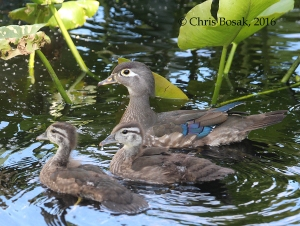 Photo by Chris Bosak A Wood Duck mother swims with two of her babies at Woods Ponds in Norwalk, Conn., spring 2016.