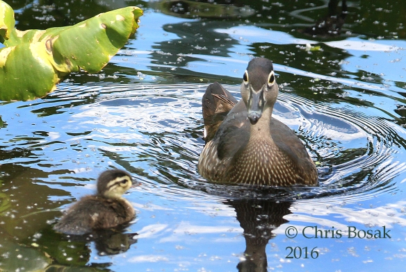 Photo by Chris Bosak A Wood Duck swims with one of her chicks at Wood's Pond in Norwalk, spring 2016.
