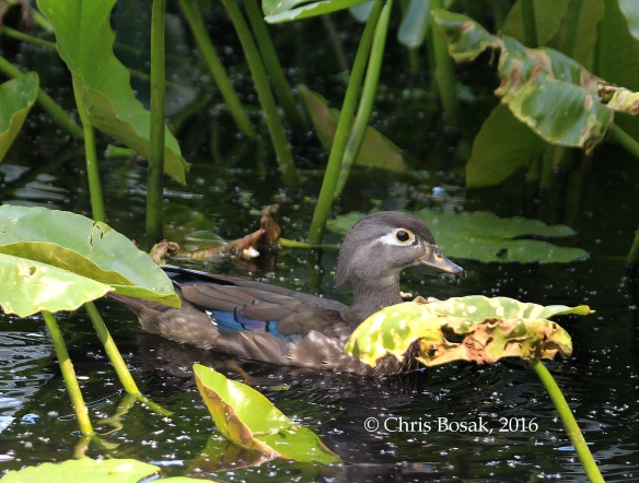 Photo by Chris Bosak A Wood Duck swims at Wood's Pond in Norwalk, spring 2016.