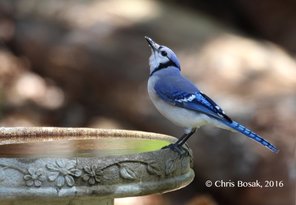 Photo by Chris Bosak A Blue Jay drinks from a birdbath in New England, spring 2016.