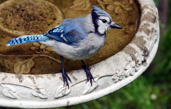 Photo by Chris Bosak Young Blue Jay at birdbath