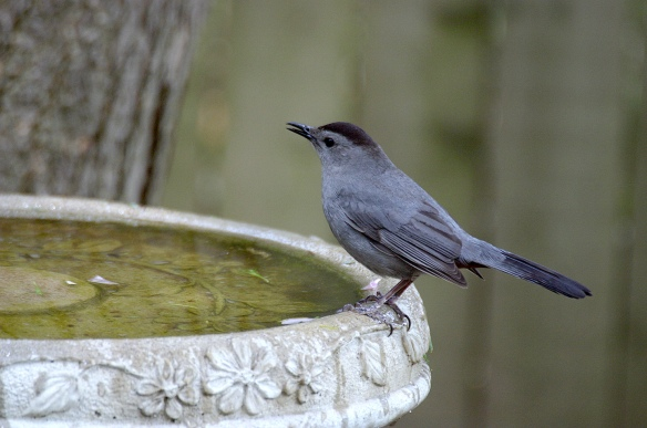 Photo by Chris Bosak Gray Catbird at birdbath.