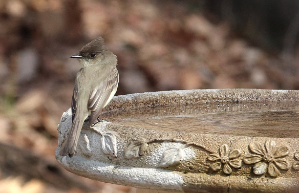 Photo by Chris Bosak An Eastern Phoebe visits a bird bath in Danbury, Conn., March 2016.