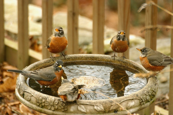 Photo by Chris Bosak Robins invade a birdbath.