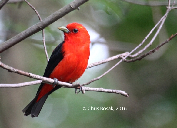 Photo by Chris Bosak A Scarlet Tanager perches in a tree in Danbury, Conn., July 2016.