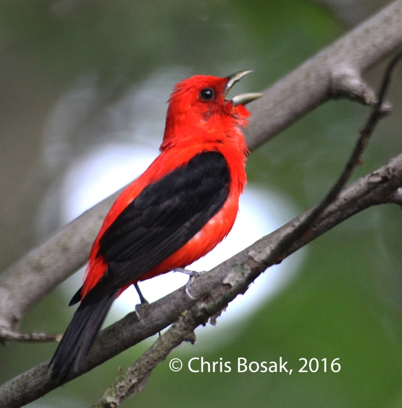 Photo by Chris Bosak A Scarlet Tanager sings in a tree in Danbury, Conn., July 2016.