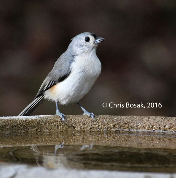 Photo by Chris Bosak A Tufutaced Titmouse perches on the edge of a birdbath in New England, fall 2015.