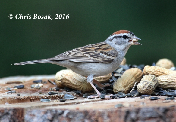 Photo by Chris Bosak A Chipping Sparrow eats from a acbirdfeeder at Merganser Lake in Danbury, Conn., summer 2016.