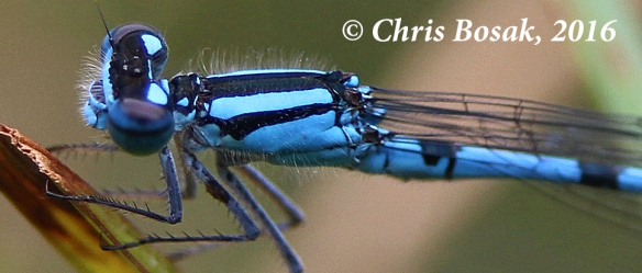 Photo by Chris Bosak An Azure Damselfly rests on a twig near a pond at Little Merganser Lake in Danbury, Conn., summer 2016.