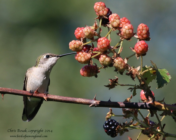 Photo by Chris Bosak A female Ruby-throated Hummingbird sips juice from a wild berry at Dolce Norwalk Center in summer 2014.