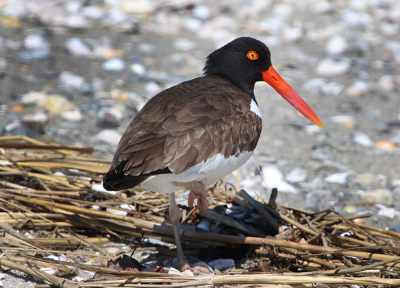 An American Oystercatcher seen at Milford Point during the summer.