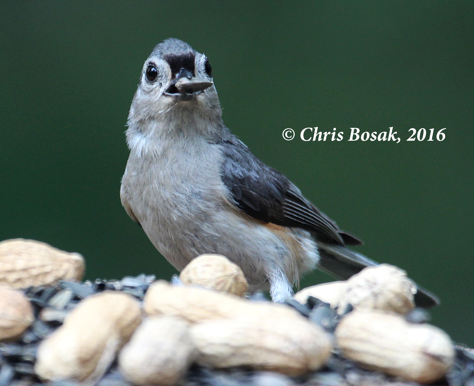 Photo by Chris Bosak A Tufted Titmouse grabs a sunflower seed from a feeder in Danbury, Conn., summer 2016.