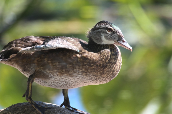 Photo by Chris Bosak A young Wood Duck sits on a rock at Woods Pond in Norwalk, Conn., Julyh 2016.