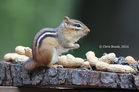 Photo by Chris Bosak An Eastern Chipmunk eats from a platform bird feeder in Danbury, Conn., summer 2016.