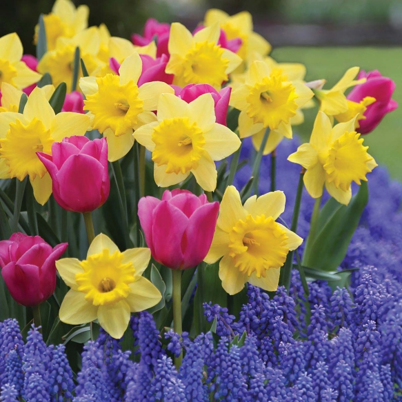 Photo credit: Longfield Gardens Dutch Master daffodils, Involve tulips and Muscari provide several layers of color in the garden.