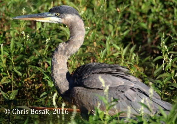 Photo by Chris Bosak A Great Blue Heron walks in a pond in Danbury, Conn., summer 2016.