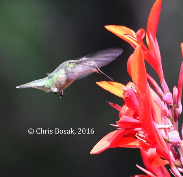 Photo by Chris Bosak A Ruby-throated Hummingbird sips nectar from Canna flower in Danbury, Conn., summer 2016.