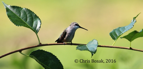 Photo by Chris Bosak A Ruby-throated HummingAbird perches on a branch in Brookfield, Conn., summer 2016.