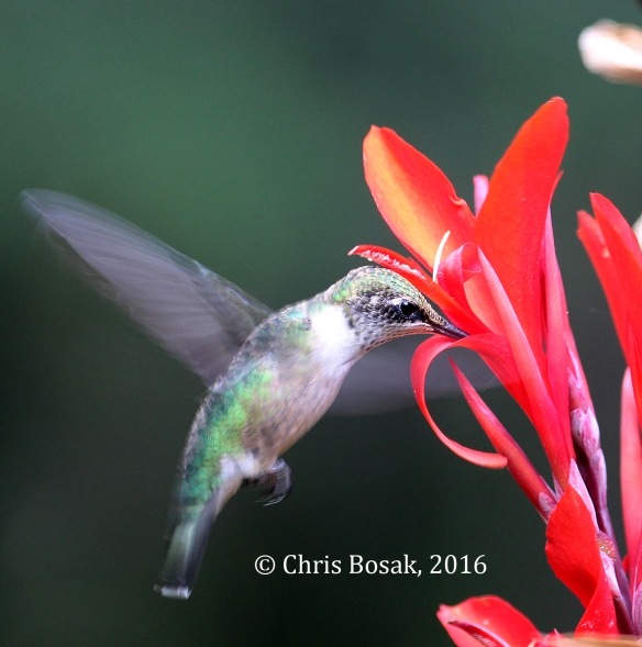 Photo by Chris Bosak A Ruby-throated Hummingbird sips nectar from Canna flower in Danbury, Conn., summer 2016.