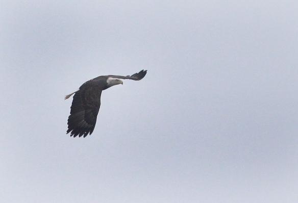 Photo by Chris Bosak A Bald Eagle flies over Little Merganser Lake in Danbury, Conn., Sept. 2016.