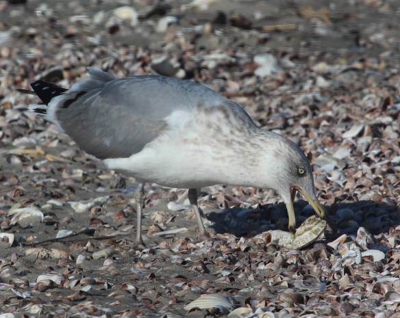 A Herring Gull positions a clam for eating in Stratford, Conn.