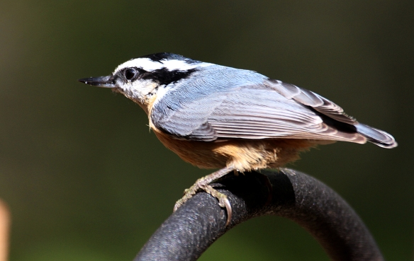 A Red-breasted Nuthatch perches near a birdfeeding station in Danbury, Conn., Oct. 2016.