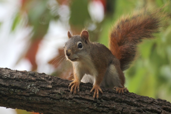 Photo by Chris Bosak A Red Squirrel stands its ground on a branch in Terrywile Park in Danbury, Conn., Sept. 2016.