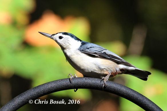 A White-breasted Nuthatch perches near a birdfeeding station in Danbury, Conn., Oct. 2016.