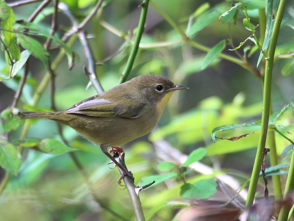 A female Common Yellowthroat seen at Terrywile Park in Danbury, Conn, Sept. 2016.