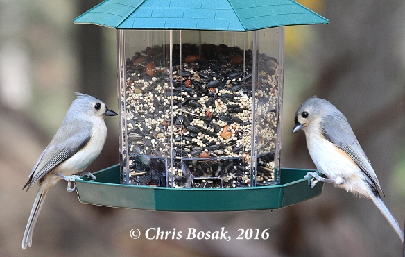 Photo by Chris Bosak A pair of Tufted Titmice visit a feeder during the Audobon Park My Bird Week media challenge in Danbury, Conn., in Nov. 2016. Both the feeder and seeds are from Audubon Park.