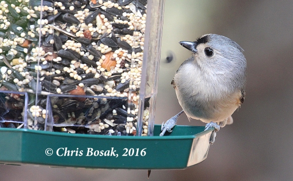 Photo by Chris Bosak A Tufted Titmouse visits a feeder in Danbury, Conn., in Nov. 2016, during the Audubon Park My Bird Week media challenge. Both the feeder and seeds are from Audubon Park.