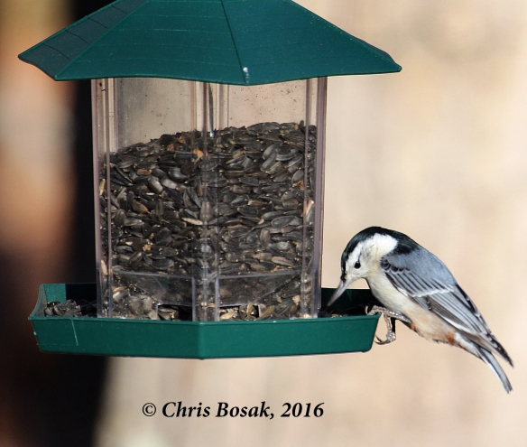 Photo by Chris Bosak A White-breasted Nuthatch visits a feeder in Danbury, Conn., in Nov. 2016, during the Audubon Park My Bird Week media challenge. Both the feeder and seeds are from Audubon Park.