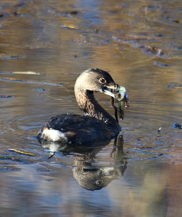 Photo by Chris Bosak A Pied-billed Grebe catches a fish in a pond in Danbury, Conn., November 2016.