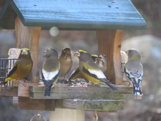 Evening Grosbeaks visit a feeder near Jaffrey in this photo taken by For the Birds reader Pam Hoyt.